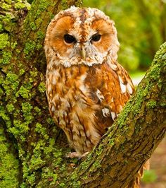 Tawny Owl by Mike Westgate 1618554_391116034356191_239029550_n.jpg (459×519)
