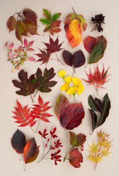 18 autumn colour trees shrubs (top left to bottom right) Prunus verecunda, Acer griseum, Parrotia persica 'Vanessa', Enkianthus cernuus f. rubens, Euonymus alatus, Acer palmatum 'Osakazuki', Cotinus 'Grace', Hamamelis vernalis 'Sandra', Hydrangea quercifolia 'Snow Queen', Ginkgo biloba 'Compacta', Acer palmatum 'Dissectum Nigrum', Rhus typhina, Cornus 'Eddie's White Wonder', Euonymus grandiflorus, Malus tschonoskii, Enkianthus perulatus, Viburnum opulus, Acer palmatum 'Sango-kaku'