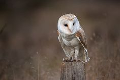 Photograph Barn owl by Mike Pearce on 500px
