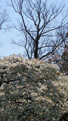 All around the park you'll find trees in full blossom!