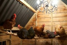 chicken coops worthy of your fine, feathered friends: Egg production tapers off when hens don't catch enough rays, which explains why many flocks stop producing completely in winter. A little mood lighting inside their coop, however, can help compensate for the shorter days. Just be sure to select bulbs that cast a warm glow—as the chandelier shown here does—since bluish-white light won't trigger laying.