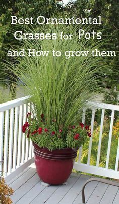 Growing ornamental grasses is fun, you can decorate your house, garden, balcony or patio with them. So, what are the best ornamental grasses for containers? We named a few, check out. #gardeningwithcontainers #LandscapeFlowers