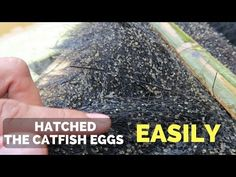 How to Hatch Catfish Eggs Easily Catfish Farming, Snail Farming, Fish Breeding, Trout, Eggs, Youtube, Culture, Brown Trout, Egg