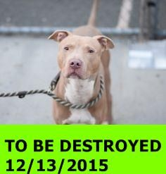 GONE 12-13-2015  --- Brooklyn Center  My name is CITGO. My Animal ID # is A1060008. I am a male tan pit bull. The shelter thinks I am about 2 YEARS  I came in the shelter as a STRAY on 12/08/2015 from NY 11226, owner surrender reason stated was STRAY. htt