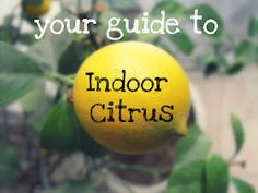 Growing indoor citrus