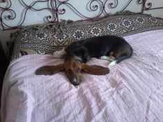 This is Flo, a fabulous (if melancholy) rescue dachshund just adopted by friends of ours in Florence (Italy).