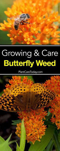 Perennials Butterfly Weed Care: How To Grow Asclepias Plant - The herbaceous perennial, Asclepias tuberosa (Butterfly Weed) makes a perfect addition to any yard and especially suited to butterfly gardens. Grow Butterflies, Butterfly Weed, Butterfly Plants, Monarch Butterfly, Succulent Gardening, Container Gardening, Gardening Tips, Organic Gardening, Gardening Vegetables