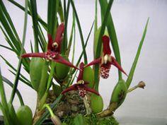 Maxillaria tenufolia (Coconut Fragrance!)