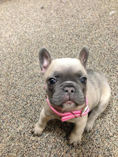 is this a french bulldog puppy in a pink collar?