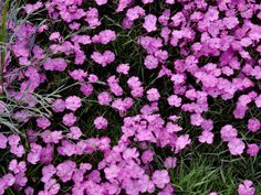 Dianthus is a Pretty Perennial Often Used in Rock Gardens --> http://www.hgtvgardens.com/photos/flowering-plants-photos/star-shine-dianthus?soc=pinterest