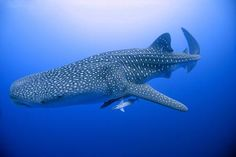 Little is known about the history of a whale shark. Belonging to the group called Chondrichthyes, it is known to be the largest living fish on earth.
