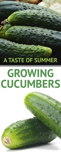 Pin now, read later! This is a complete step by step guide on how to grow your own cucumbers. #cucumbers