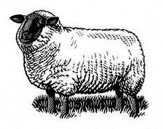 Sheep A Scraperboard illustration by Artist Richard Allen
