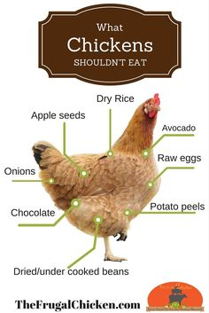Fruit Can Chickens Eat, Aggressive Dogs, Jersey Giants, & Beak Trimming: Your Questions! [Podcast] List of food that's poisonous for chickens to eat. Keep handy for reference.List of food that's poisonous for chickens to eat. Keep handy for reference. Raising Backyard Chickens, Backyard Chicken Coops, Keeping Chickens, Diy Chicken Coop, Pet Chickens, Backyard Farming, How To Raise Chickens, Plants For Chickens, What Can Chickens Eat