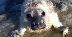 A Man Came Across This Little Seal While Skiing. What The Seal Pup Did Next Will Melt Your Heart.