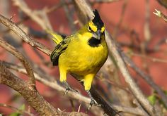 Yellow cardinal (Gubernatrix cristata) is a species of bird in the family Thraupidae. Sometimes classified in the bunting and American sparrow family Emberizidae, more recent studies have shown it to belong with the tanagers. It is the only member of its genus, Gubernatrix.