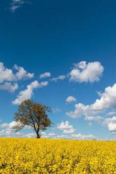 long Oak tree landscape, sea of yellow rapeseed oil, Photography, images…