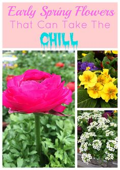 Cold tolerant early spring flowers to plant now and enjoy all spring long. These colorful plants can survive a light frost and keep looking great.