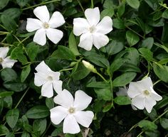 "Vinca minor alba is an extremely popular evergreen groundcover, also known as Myrtle. It forms a dense mat of glossy dark green leaves studded with clean white flowers in spring. Very shade tolerant. 6"" H x 2' W."