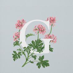 Geranium (Rose Scented)