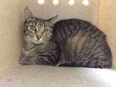 *** TO BE DESTROYED 05/28/16 *** YOUNG MOM TOSSED OUT ON THE STREET...KRISTA is a two year old lactating cat with no kittens!! Could they have been stillborn? Or could someone have kept the kittens and dumped mom?? We don't know. What we do know is this scared grey tabby girl has until noon tomorrow to find someone who cares....on a major holiday weekend at that!! KRISTA NEEDS A FOSTER OR ADOPTER STAT!! If you want to save a life this summer, start with scared KRISTA! If you need help…