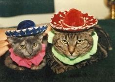 """Happy Cinco de Mayo already. You'll find our """"Revenge of the presents in your bedroom slippers Crazy Cat Lady, Crazy Cats, Show Me Cats, Cats Tumblr, Taco Cat, Silly Dogs, Cat Hat, Cat Costumes, Pretty Cats"""