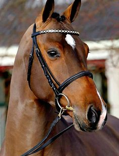 Holsteiner sport horse stallion, Dakota VDL. Portrait.