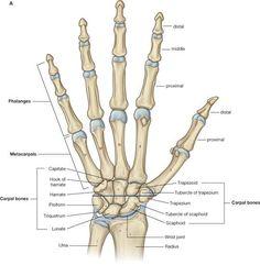 Human anatomy and physiology edition Human Skeleton Anatomy, Human Body Anatomy, Human Anatomy And Physiology, Muscle Anatomy, Hand Bone Anatomy, Wrist Anatomy, Anatomy Bones, Skull Anatomy, Medical Coding