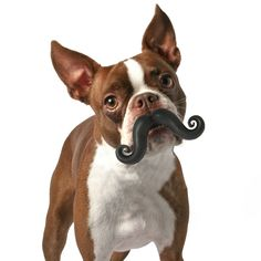doggy mustache chew toy! dying!!!