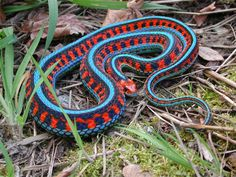 The beautiful California red-sided garter snake (Thamnophis sirtalis infernalis), a subspecies of the common garter snake endemic to California.