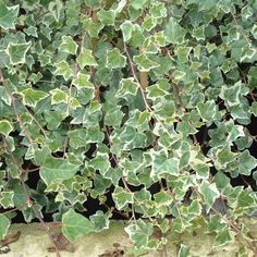 Hedera Helix 'Adam' | 2.5L Pot Ivy Plants, Indoor Plants, Cut Flowers, Colorful Flowers, Horticulture, Hedera Helix, Planting Shrubs, Poisonous Plants, Lawn Edging