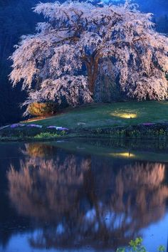 Cherry tree in Japan 桜花 by makoto isa Beautiful World, Beautiful Places, Beautiful Pictures, Nature Tree, Tree Forest, Nature Scenes, Belle Photo, Amazing Nature, Beautiful Landscapes