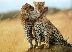 Planning an African safari tour? Safaris Online has more than 10 years of experience in personalized safaris in Kenya, Tanzania ,Uganda, South Africa, Botswana and Namibia. Wild At Heart, Out Of Africa, East Africa, Jaguar Leopard, Tanzania Safari, Serengeti National Park, Leopards, African Safari, Big Cats