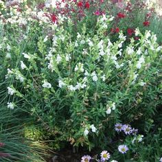 Salvia greggii 'Alba' White Texas Sage at San Marcos Growers Country Landscaping, Landscaping Plants, Garden Plants, Landscape Plans, Landscape Design, Hillside Garden, California Native Plants, Deer Resistant Plants, Drought Tolerant Plants