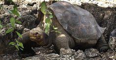 A morte do 'George Solitário', ocorrida em 2012, não extinguiu a espécie das tartarugas gigantes das ilhas Galápagos. A Direção do Parque Nacional de Galápagos descobriu mais 17 tartarugas - nove fêmeas, três machos e cinco jovens - com o mesmo gene da tartaruga habitando o vulcão Wolf da ilha Isabela, que integra o arquipélago equatoriano Parque Nacional de Galápagos/AP