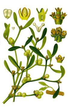 maretak (viscum album):  mag niet gecombineerd worden met antidepressiva, nl MAO-remmers. Zaaien van maretak lukt het best op appel, populier, lijsterbes, wilg, meidoorn, robinia, linde en esdoorn.