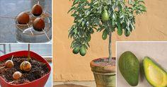 Se você gosta de cultivar e fazer jardinagem, então vai adorar essa dica. Todo mundo sabe que os abacates, para além de serem deliciosos, são ótimos para a saúde. Essa fruta verde está cheia de potássio e vitaminas, tais como a B5, B6, C, K e E. Para além disso, ela tem gorduras saudáveis para …