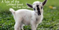 a tale of the littlest goat - BEST STORY EVER! This true short story should be made into a children's book. Beautiful writing, adorable pics, & sad but heartwarming tale. MUST READ!
