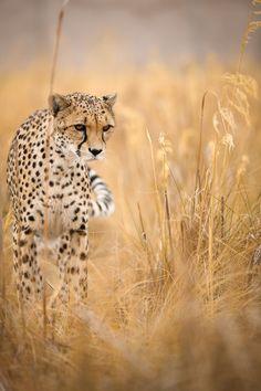 Cheetah : Photo by Dirk Muller. ❤️