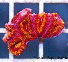 Aussie Acanthastrea
