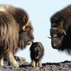 A visit to #BeringLandBridge can feel like traveling back in time. The Bering Land Bridge provided a pathway for plants, animals and people to cross from the old world to new. #Wildlife like the #muskox remind us of our ancestors and how geography has shaped humankind. These iconic herbivores sport curved horns and can weigh between 400-800 pounds. Although their populations have fluctuated over the last century, today they number around 3,800 in the state of Alaska. #NationalPark Service…