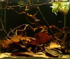 Rio Huallaga biotope with Apistogramma baenschi, Nannostomus, and Otocinclus