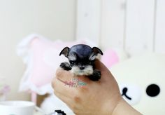 Adorable tiny teacup baby girl - amazingly small and super cute! Teacup Schnauzer, Miniature Schnauzer Puppies, Schnauzer Puppy, Yorkie Puppy, Teacup Chihuahua, Puppies And Kitties, Baby Puppies, Baby Dogs, Cute Puppies