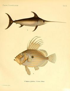 Swordfish/John Dory, A history of Scandinavian fishes, Stockholm : P. Fish Drawings, Animal Drawings, Antique Illustration, Illustration Art, Illustrations, Ocean Drawing, Sea Fish, Fish Ocean, Nautical Art