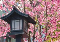 Japanese Old Wood Lantern With Pink Cherry Blossom Sakura Background. Cherry Blossom Tree, Blossom Trees, Colorful Trees, Small Trees, Maple Leaf Tree, Young Japanese Girls, Water Temple, Old Wood, Beautiful Landscapes