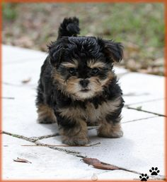 Available Mi-kis   Mi-ki puppies for sale, Always Adorable Mi-Kis