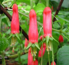"Fuchsia splendens - ""Chili Pepper Fuchsia"" has a lemony flavor with added peppery undertone"