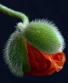 Emerging Poppy - WOW...
