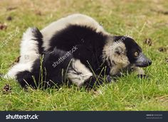 Black and white ruffed Lemur (Varecia varigata varigata)