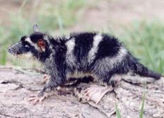 Yapok or Water Opossum..check out the back paw with the webbing